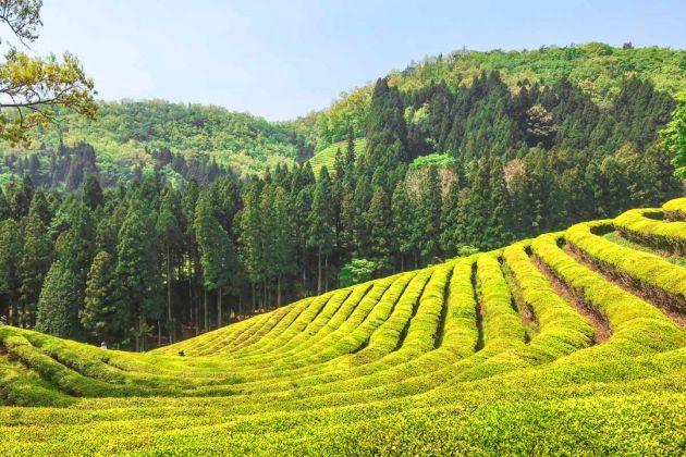 Boseong Green Tea Plantation in south korea