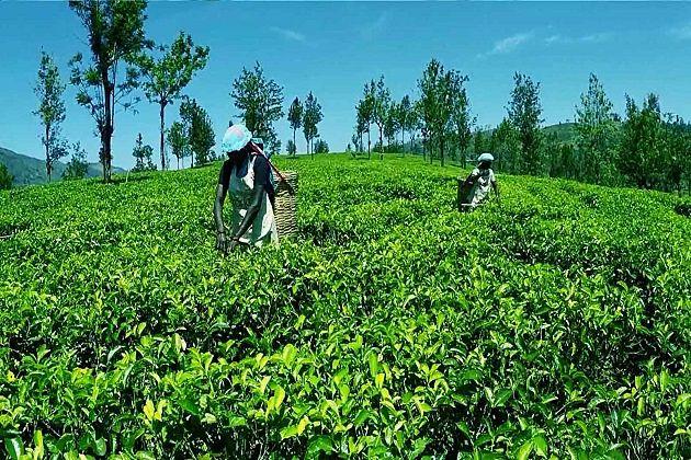 Ceylon Tea - sri lanka 2 week route