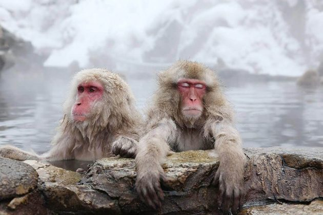 Jigokudani Snow Monkey Park - japan best things to do