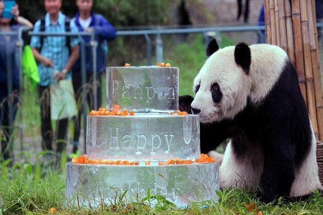Panda Conservation Centre - 2 week tour of china