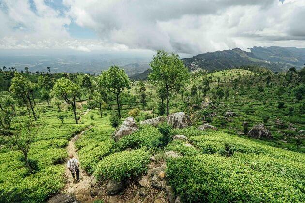 Tea Plantation - south asia vacation