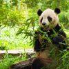 China tours - Wolong In-depth Panda Tour