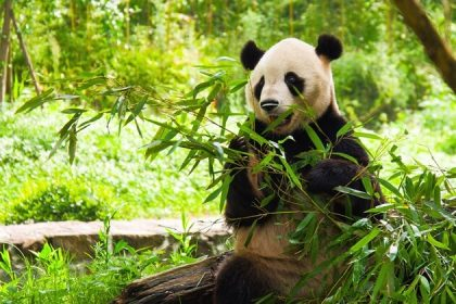 China tours - Wolong In-depth Panda Tour