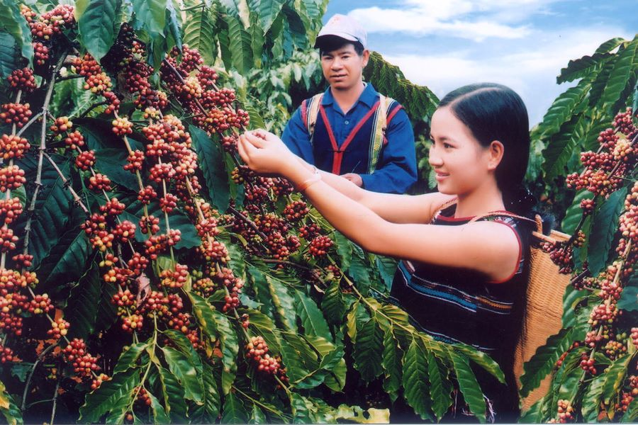 coffee harvest in central highland in vietnam