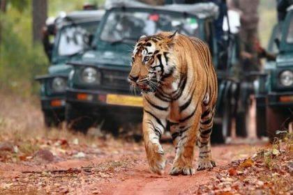 tiger safari - india wildlife safari